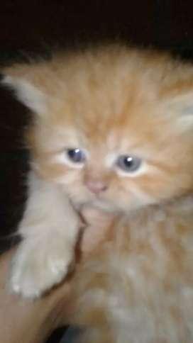 Persa tipo Garfield macho y hembra de 45 dias