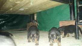 Cachorros rotwailers