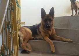 Vendo perra Pastora Aleman