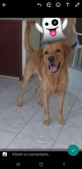 Labrador de un año y 2 meses busca perra para montar.