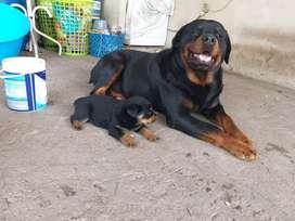 Cachorros  rotweiller