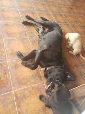 Cachorros Labrador Retriever Puros