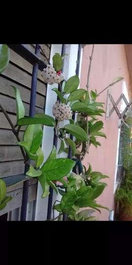 Flor de nácar o de cera