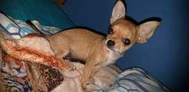 hermosa Chihuahua hembrita mini