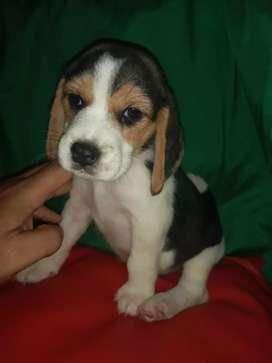 Beagle macho miniatura 50 dias