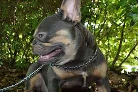 Sevicio de Monta (inseminacion) Bulldog Fances Lilac Quad Carrier. El Arca Del frances