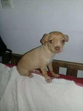 Chihuahuas mini machos