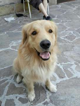Servicio de Stud Golden Retriever