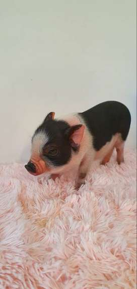 Mini pig Juliana