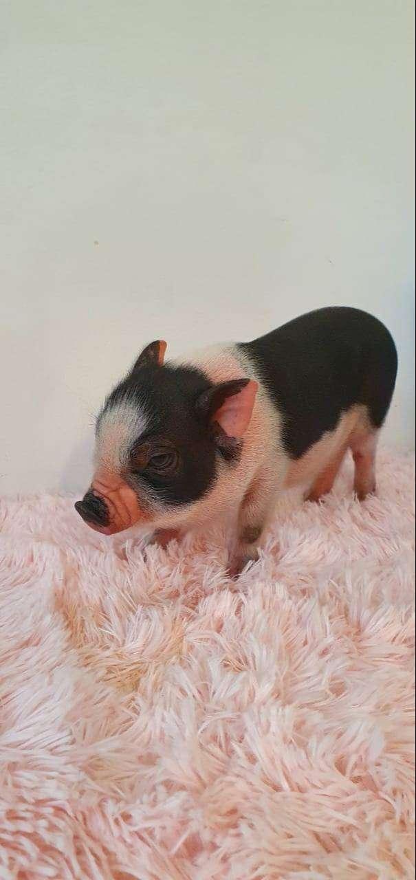 Mini pig Juliana 0