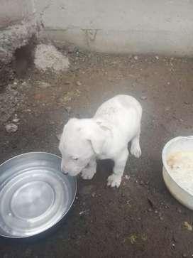 Últimos dos cachorros dogo argentino