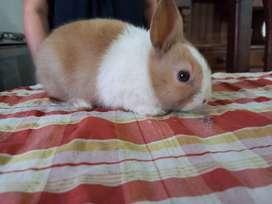 Conejos dutch holandés de 50 dias