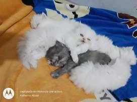 Gatos persa bebes