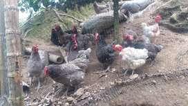 Venta d gallinas criollas 100% cliolla desde un día d nacidas asta ya en producción