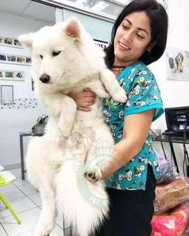 Cachorros Samoyedo,bulldog frances,golden,sharpei,shitzu,labrador,schnauzer en Pet Vital