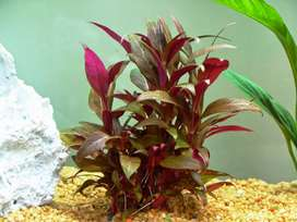 Planta para Acuarios Alternathera reineckii Mini x 3 tallos