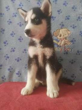 Notables cachorros siberiano cariñosos