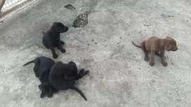 Cachoros labradores