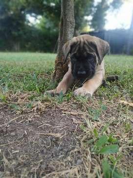 Cachorros Mastin Ingles de Jackflash Mastiff buscanos en facebook