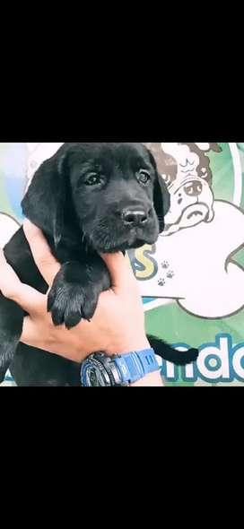 Labrador hembra color negro muy linda