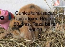 Conejos belier en Bogota.