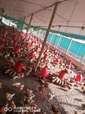 Pollas para iniciar postura