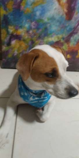 JACK ROUSSELL TERRIER PARA MONTA