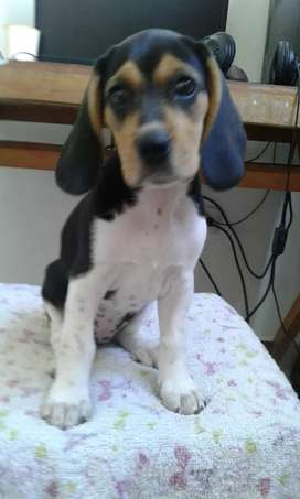 Bella beagle hembra