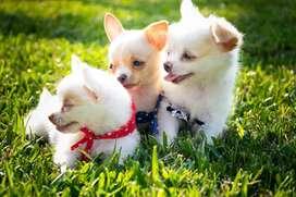 Chihuahuas Long Hair & Apple Head