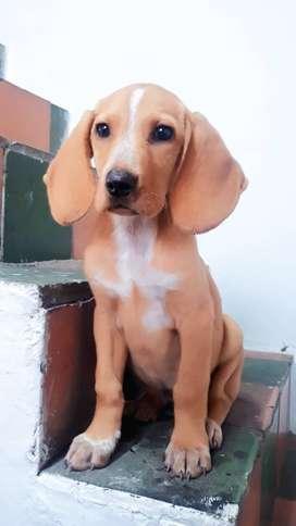 Sabueso Cachorro
