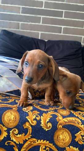 para entrega cachorros de raza Tekel vendo con sus vacunas y de 45 dias de edad macho y hembra vacunados