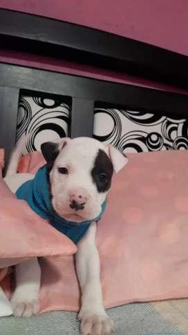 Cachorro pitbul