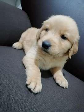 Hermosos cachorros golden en venta