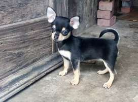 hermosa perrita chihuahua cabeza de manzana Mini toy
