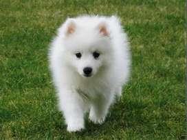 cachorros blancos puros de gran manto blanco brillante