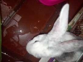 Conejo res