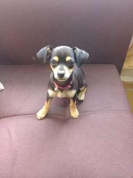 Chihuahua hembra 5 meses
