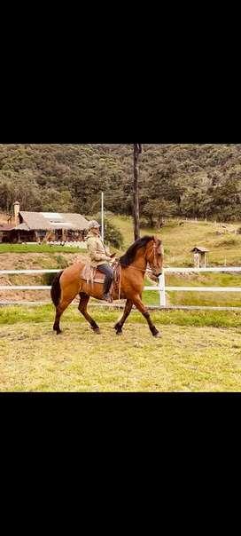 Vendo hermoso caballo percheron con Lucitano