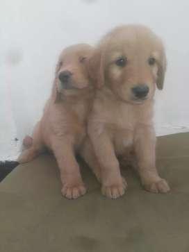 Relucientes cachorros golden bonitos