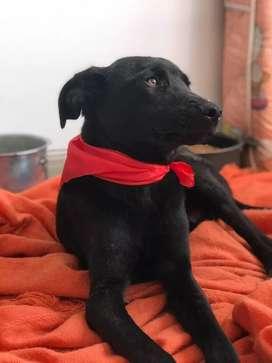 Perrito raza labrador, edad 6 meses en adopción