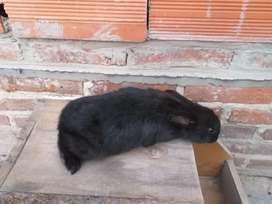 Disponibles, conejo adulto,conejito criollo y holland lop puros
