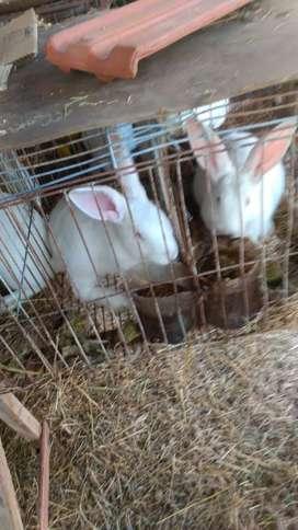 Conejos de carne reproductores raza Flandes
