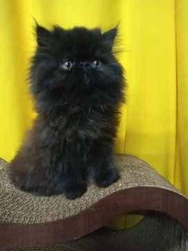 Gato persa macho color negro vacunado y desparacitado  con estudios de padres libres de pkd