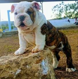 bulldog ingles perritos puros de bicolor blanco y barcino