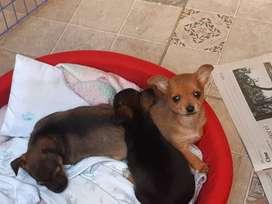 cachorros chihuahuas mini 50 dias