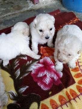 Hermosos Cachorros french poodle Garantía de pureza.
