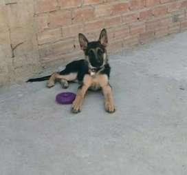Vendo cachorra pastor aleman