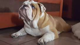Bulldog ingles macho alquilo o vendo