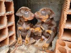 Cachorros Doberman raza pura