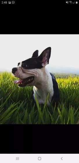 Busco novia boston terrier